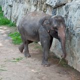 Thai  elephant. Royalty Free Stock Photography