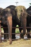 Thai Elephant at Ayutthaya Thailand Royalty Free Stock Images
