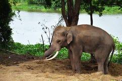 Thai Elephant at Ayutthaya Thailand Royalty Free Stock Photos