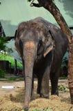Thai Elephant at Ayutthaya Thailand Stock Photo