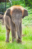 Thai elephant baby. Baby elephant working in in the meadow at Kanchanaburi Elephant Camp, Thailand stock images