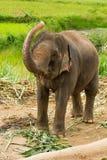 Thai elephant chiangmai Thailand Stock Photography