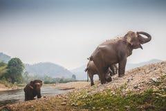 A Thai elephant cleans himself Royalty Free Stock Photos