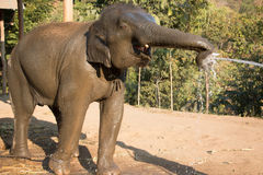 Thai elephant drinking water Stock Photography