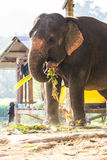Thai Elephant Eating Stock Image
