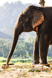 Thai Elephant Eating Stock Images
