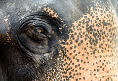 Thai Elephant Eye. Thai Elephant eye closeup view Royalty Free Stock Images