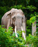 Thai elephant Stock Images