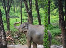 Thai elephant in the forest photo image stock photos