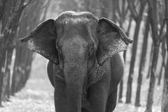 Thai Elephant at Kanchanaburi province, Thailand. Most of elephants went to work into the tourism industry stock image