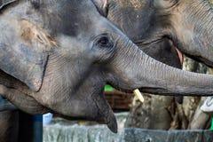 Thai elephant. Stock Images