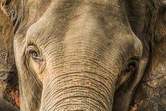 Thai elephant. Royalty Free Stock Image