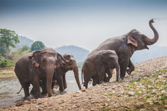Thai elephant leaving river Stock Images