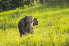 Thai Elephant Stock Photos