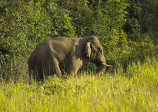 Thai Elephant Stock Photography