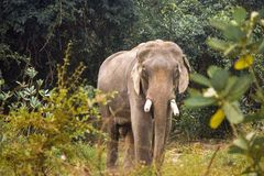 Thai elephant in Nature Royalty Free Stock Photo