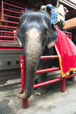 An Thai elephant is prepared to the walk Royalty Free Stock Photography