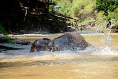 Thai elephant was take a bath with mahout elephant driver , elephant keeper in Maesa elephant camp , Chiang Mai , Thailand, Asia. 21. MAY 2018 royalty free stock image