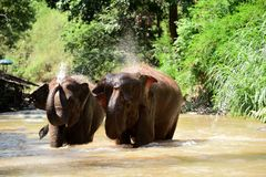 Thai elephant was take a bath with mahout elephant driver , elephant keeper in Maesa elephant camp , Chiang Mai , Thailand, Asia. 21. MAY 2018 stock photography