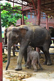 Thai Elephants at Ayutthaya Elephant Camp Thailand Royalty Free Stock Image