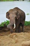Thai Elephants at Ayutthaya Elephant Camp Thailand Royalty Free Stock Image