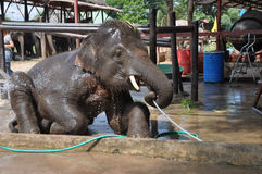 Thai Elephants at Ayutthaya Elephant Camp Thailand Stock Images