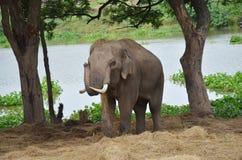 Thai Elephants at Ayutthaya Elephant Camp Thailand Stock Photography