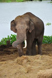 Thai Elephants at Ayutthaya Elephant Camp Thailand Royalty Free Stock Images