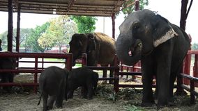 Thai Elephants and baby elephat in Thailand stock video
