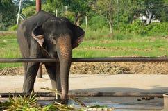 Thai elephants Stock Photos