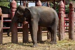 Thai elephants eating food Royalty Free Stock Photo