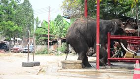 Thai Elephants eating food in Thailand stock video footage