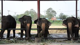 Thai Elephants eating food in Thailand stock footage