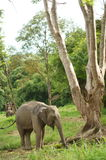 Thai Elephants. Eating green grass Royalty Free Stock Image