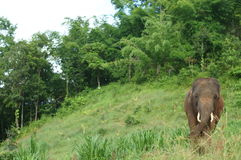 Thai Elephants. Eating green grass Stock Photo