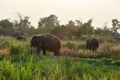 Thai elephants. Group of Thai elephants in the forest Thailand Royalty Free Stock Photos