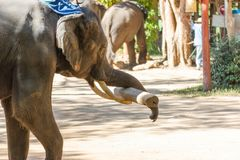 Thai Elephants lifting Large timber Bigger logs. Elephants using their tusks stock photo