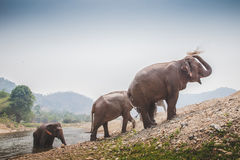 Thai elephants shower themselves Royalty Free Stock Image