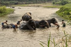 Thai elephants taken a bath by mahout at river. Stock Photography