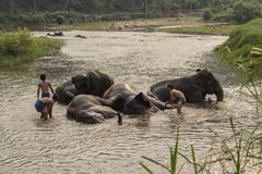 Thai elephants taken a bath by mahout at river. Stock Images