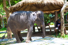 Thai elephants Stock Photography