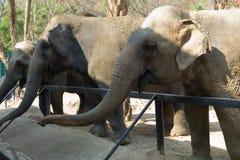 Thai elephants. At a zoo Stock Photos