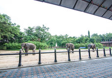 The Thai elephats show in Thailand Stock Photos