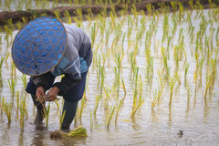 Thai famer working in paddy field. Royalty Free Stock Photos