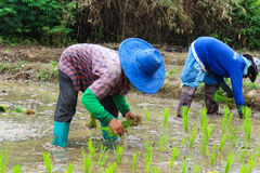 Thai famers planting the seeding of rice Royalty Free Stock Photography
