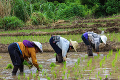 Thai famers planting the seeding of rice Stock Images
