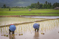 Thai famers working in paddy field. Royalty Free Stock Photo