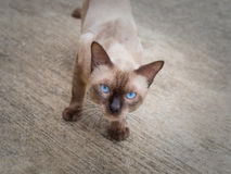 Thai famous cat (Siamese Cat) looking. Thai famous cat (Siamese Cat, Moon Diamond, Seal Point) in dark and light brown hair standing and looking above on floor Stock Photography
