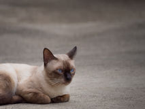 Thai famous cat (Siamese Cat). Thai famous cat (Siamese Cat, Moon Diamond, Seal Point) in dark and light brown hair and blue eyes lying and relaxing on floor Stock Photography