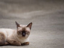 Thai famous cat (Siamese Cat) sleeping. Thai famous cat (Siamese Cat, Moon Diamond, Seal Point) in dark and light brown hair sleeping on floor with copy space Royalty Free Stock Photography